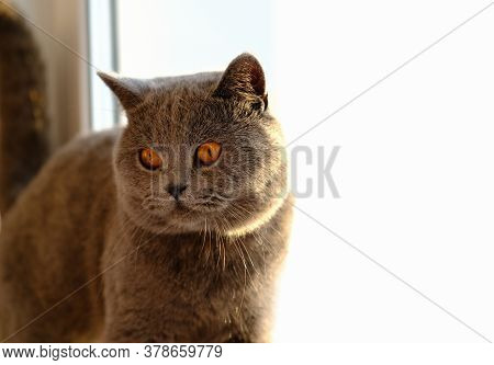 Cute British Shorthair Cat Looking Aside. Cat With Yellow Eyes. Purebred Adult Kitty.