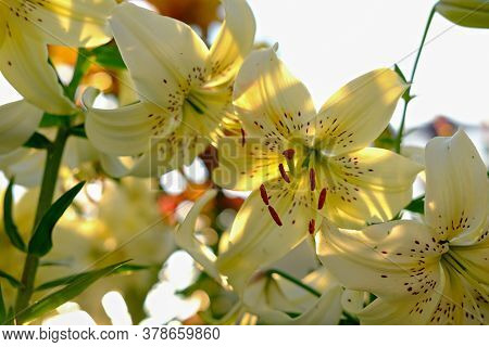 Yellow Lilies In Evening Sunshine. Flower Growing In A Gadren. Hobby Concept. Sunshine On A Lily Flo