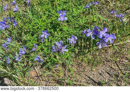 Purple Flowers Of Geranium Meadow (geranium Pratense), Or Crayfish Meadow, Or Meadow Crane's-bill -