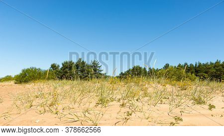Sand Dune With Coastal Sedge And Yellow Flowers Against The Background Of A Pine Grove Under A Blue