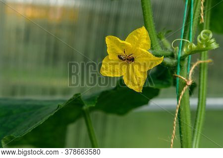 A Bee Collects Nectar On A Yellow Blossoming Cucumber Flower, Among Large Green Leaves, Against The