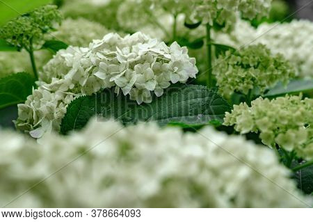 Blooming White Hydrangea With Many Buds Receding Into The Distance Against A Background Of Green Lea