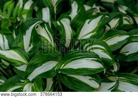 White-green Leaves Of Hosta, Which Grows Very Densely In A Flower Bed In The Garden.