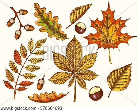 Set Of Autumn Leaves. Vector Hand Drawn Colored Maple, Birch, Chestnut, Acorn, Ash Tree, Oak. Sketch