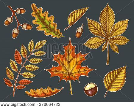 Set Of Autumn Leaves. Vector Hand Drawn Colored Maple, Birch, Chestnut, Acorn, Ash Tree, Oak On Blac
