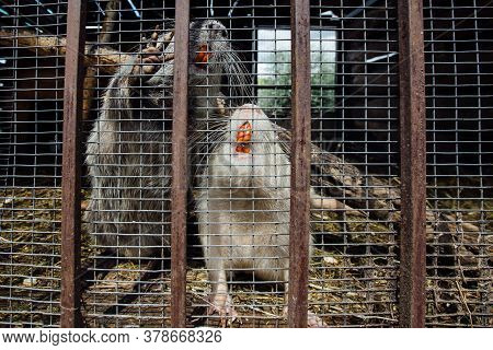 Gray And White Nutria Myocastor Coypus In The Cage At The Farm