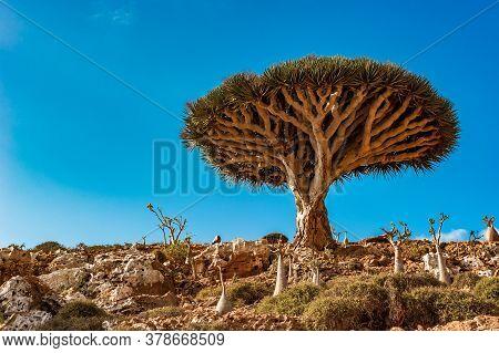 Dragon Trees On Socotra Island In Indian Ocean, Yemen
