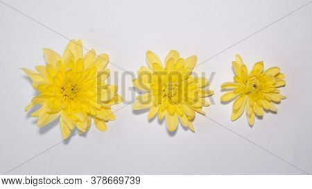 Three Bright Yellow Gerbera Flowers Of Different Sizes From Large To Small Isolated On White. Minima