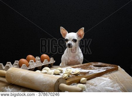 White Chihuahua Sits At The Table And Prepares Dumplings. The Dog Sits At A Table With Dumplings And