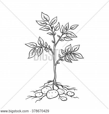 Potato Plants With Tubers. Vector Illustration Of Farm Plant Potatoes In Retro Style.