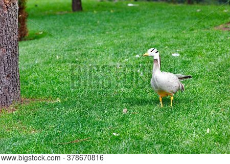 Geese Anser Indicus Walks In A Green Meadow In A Summer Park In Warm Sunshine.