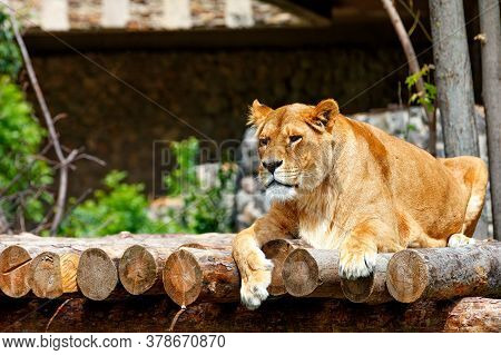 A Portrait Of A Large Adult Lioness Lying On A Platform Of Wooden Logs And Looking Forward Intently.