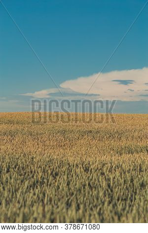 Agriculture. Wheat Fields. Sunset On A Field With Young Rye Or Wheat In Summer With Cloudy Sky Backg