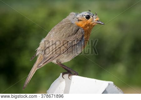 Bald-headed Robin In Moult Sitting On A Fence Post