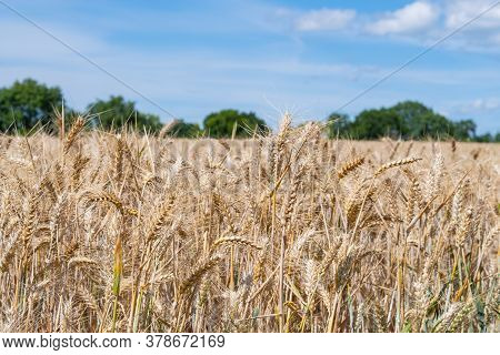 A Crop Of Wheat (triticum Aestivum) Which Is Fit To Harvest