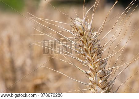 Close Up Of A Wheat (triticum Aestivum) Plant In The Field Ready To Harvest