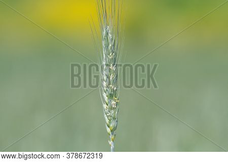 Close Up Of An Ear Of Wheat In A Field Of Wheat
