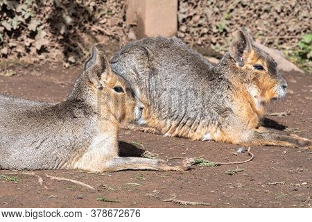 Portrait Of A Pair Of Patagonian Maras (dolichotis Patagonum) Sitting On The Ground