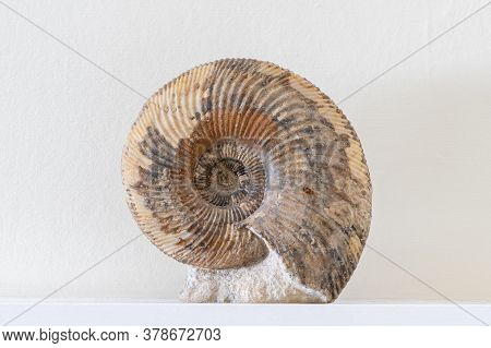 Close Up Photo Of An Ammonite Fossil