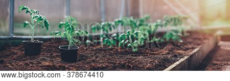 Tomato Seedlings Growing In The Soil At Greenhouse