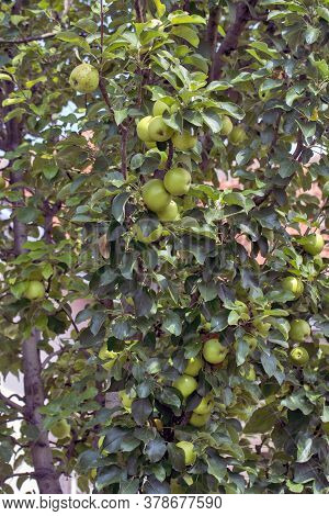 Green Apples On A Tree