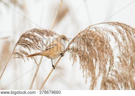 Bearded Reedling Is A Very Pretty Small Bird, It Lives Only In Reed-beds, In This Photo The Bird Is