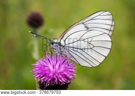 A Beautiful Butterfly Sucking Nectar On A Violet Flower