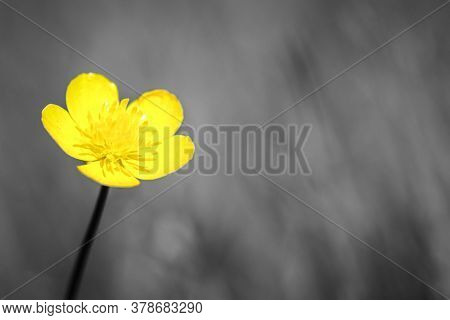 Yellow Flower Head Of Bulbous Buttercup (ranunculus Bulbosus) Growing On Grass, Image With Defocused
