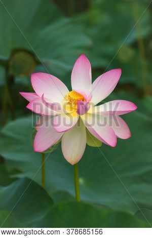 Pink Lotus (nelumbo) Flowers In The Water. Lotus Close-up. Pink Lotuses Are Delicate And Beautiful F