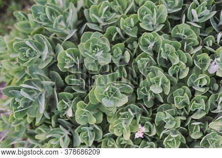 Sedum Spectabile, Stonecrop Flowering Plant, Top View. Natural Background Texture