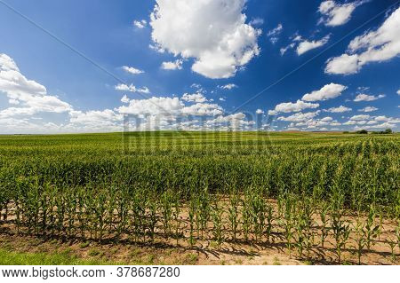 Agricultural Field With A Crop Of Sweet And Maize Maize Plants For Food Crops, Agricultural Activity
