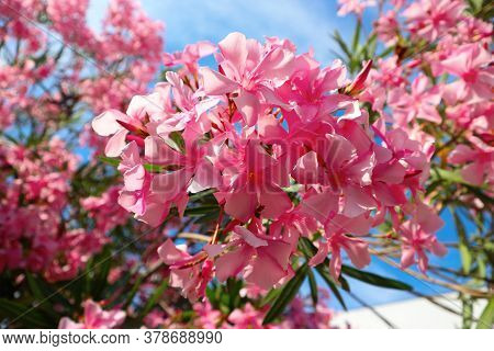 Oleander Blossom. Branch Of The Pink Oleander Tree.