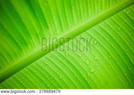 Raindrops Or Dew On Banana Leaves, Banana Leaf Details With Raindrop Drops, Beautiful Banana Leaf Ba