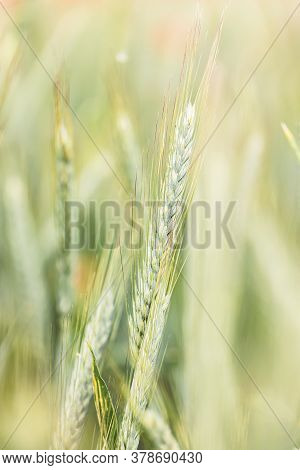 Macro Photo From Wheat Stalk In Detail. Outdoor Shhot.