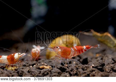 Crystal Red Bee Dwarf Shrimp Look For Food In Aquatic Soil Among The Other Types Of Shrimp And Stay