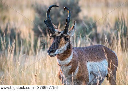 Pronghorn In The Field Of Antelope Island State Park, Utah
