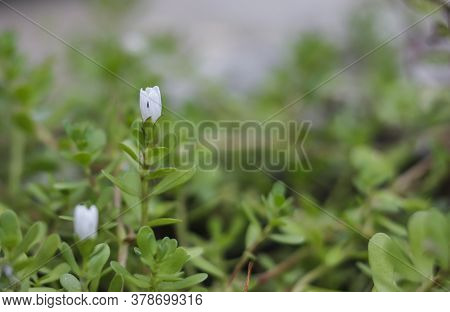Bacopa Monnieri Herb Plant And Flower, Known From Ayurveda As Brahmi. Bacopa Monnieri It Is Also Use