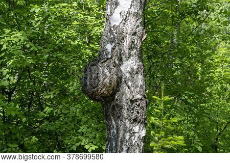 Birch Mushroom Is A Parasite Of Unusual Shape, Parasitic On A Tree, Suvel, Chaga.