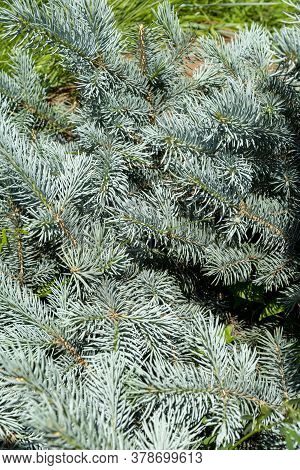 Branches, Blue Spruce, Conifer. The Scientific Name Is Picea Pungens, A Type Of Coniferous Tree.