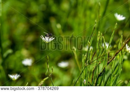 Black Musca (fly) Sits On A White Flower Of Stellaria Graminea Near Horsetail Stems On A Green Blurr