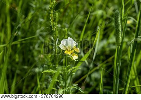 One Blooming Viola Arvensis Plant Isolated On Natural Green Blurred Background. Beautiful Flowering