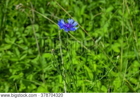Single Stalk Of Bachelor's Button With Blue Flower And Buds Closeup, Isolated On Green Blurred Backg