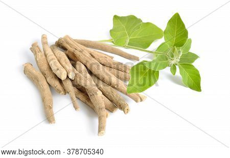 Root Withania Somnifera, Known Commonly As Ashwagandha, Indian Ginseng, Poison Gooseberry Or Winter