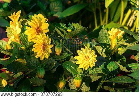 The Group Of The Flowers Of Maximilian Sunflower, Helianthus Maximiliani.