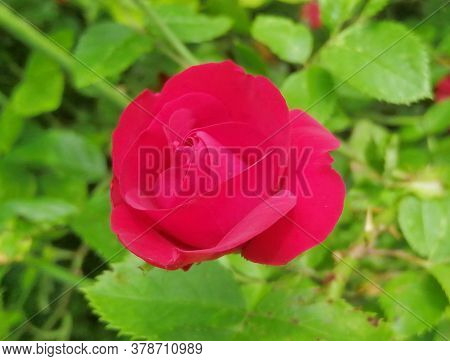 Spectacular Red Rose Close-up. Delicate Rose Petals On A Background Of Green Leaves. Summer Period.