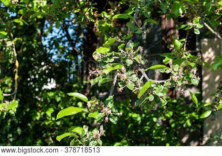 Branch Of An Apple Tree With Small Ripening Fruits On A Sunny Day In Springtime