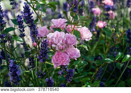 Pink Roses Flowering Between Purple Blossoms Of A Lavender Shrub