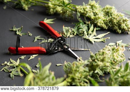 The Sugar Leaves On Buds. Mans Hands Trimming Marijuana Bud. Growers Trim Their Pot Buds Before Dryi