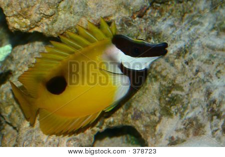 Foxface Reef Fish