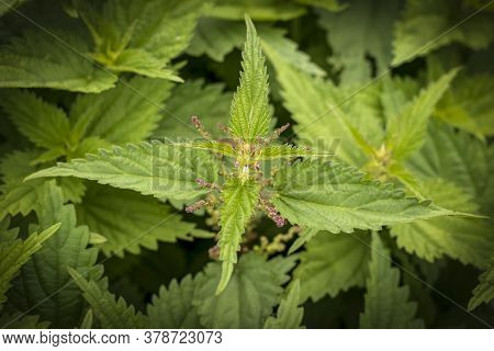Natural Lighting Of The Frame. Wild, Flower. The Nettle Is Growing. Weed. Close-up.